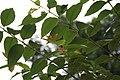 Eucalyptus deglupta 17zz.jpg