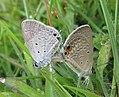 Euchrysops cnejus Fabricius, 1798 – Gram Blue mating at Madayippara (16).jpg