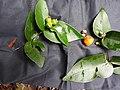 Eugenia singampattiana-4-karaiyar forest-mundanthurai-tirunelveli-India.jpg