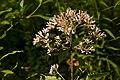 Eupatorium fistulosum - Flickr - aspidoscelis (1).jpg
