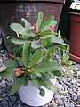 Euphorbia-milii066.jpg