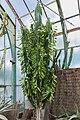 Euphorbia ampliphylla (Euphorbe) - 89.jpg