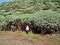 Euphorbia balsamifera (Garafía) 11.jpg
