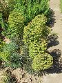 Euphorbia characias8.jpg