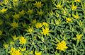 Euphorbia fragifera.jpg