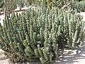 Euphorbia sp. (Costa i Llobera).jpg