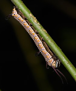 Euploea core, Common Crow, is a common butterfly found in South Asia, belongs to the Crows and Tigers subfamily of Nymphalidae. Here the larva is feeding on its host plant, Carissa carandas.