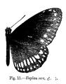 Euploea core core (m) - Bingham.png