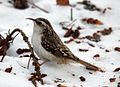 Eurasian Treecreeper in the snow (cropped).jpg