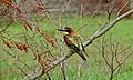 European Bee-Eater (Merops apiaster) (6011840831).jpg