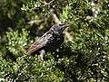 European Starling (44921547052).jpg