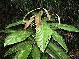 <i>Eusideroxylon</i> Genus of flowering plants