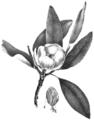 FNY-05 Magnolia glauca.png