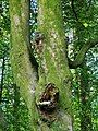 Face in a beech tree - geograph.org.uk - 814269.jpg