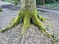 Fagales - Quercus robur - 57.jpg