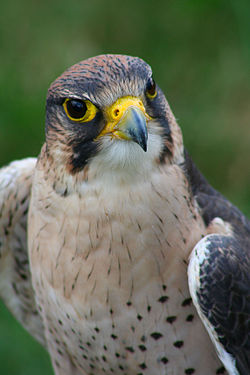Falco biarmicus Flickr.jpg