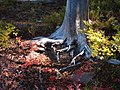 Fall color around base of dead pine. (afd0c4df495d4878a6ce976d0e7b90ce).JPG