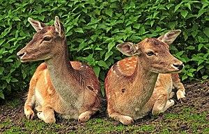 Lüneburg Heath Wildlife Park - Image: Fallow Deer (Dama dama)