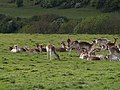 Fallow Deer at Dyrham - geograph.org.uk - 434651.jpg