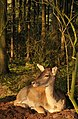 Fallow Deer in the German wood.jpg