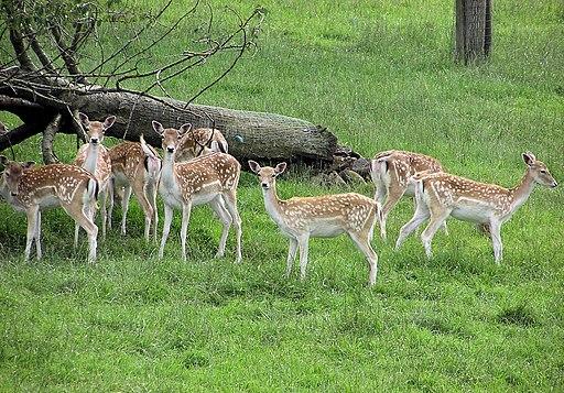 Fallow deer arp