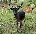Fallow deer male.jpg
