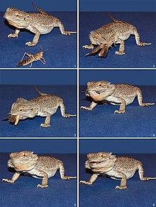 ¿Puede un dragón barbudo transmitir parásitos o gusanos a los humanos?