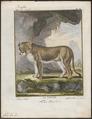 Felis leo - 1700-1880 - Print - Iconographia Zoologica - Special Collections University of Amsterdam - UBA01 IZ22100005.tif
