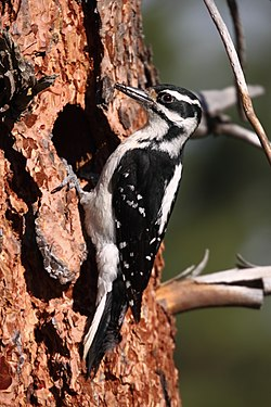 Female Hairy Woodpecker in front of nest (with spider in bill) (7299594470).jpg
