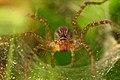 Female Lawn Wolf Spider - Flickr - spilopterus.jpg