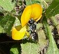 Female Megachile , possibly Osmia or Hoplitis species (32687109005).jpg