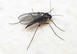 definition of gnat
