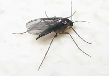 English: A female Black Fungus Gnat.