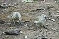 Female tree finches (47767599891).jpg
