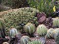 Ferocactus robustus, Ferocactus glaucescens, Huntington.jpg