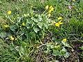 Ficaria calthifolia sl16.jpg