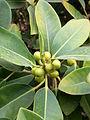 Ficus australis kz2.JPG