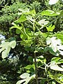Ficus carica6.jpg