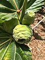 Ficus dammaropsis syconium.jpg
