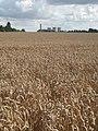 Field of ripe wheat at Culham - geograph.org.uk - 940823.jpg
