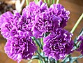 Figure 8 Example of purple carnation cultivar.jpg