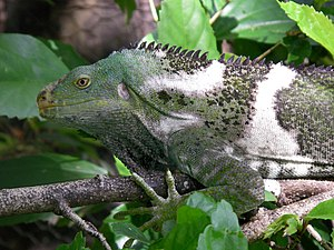 South Pacific (TV series) - The recently discovered Fijian crested iguana caused scientists to reconsider how terrestrial species colonise new islands