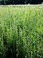 Filago vulgaris sl275.jpg