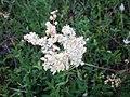 Filipendula vulgaris001.JPG