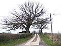 Fine oak in profile - geograph.org.uk - 324152.jpg