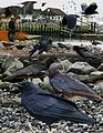 Fish Crow From The Crossley ID Guide Eastern Birds.jpg