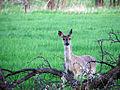 Flickr - Furryscaly - Doe, a Deer.jpg