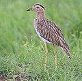Flickr - Rainbirder - Double-striped Thick-Knee (Burhinus bistriatus), crop.jpg