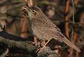 Flickr - Rainbirder - Grasshopper Warbler (Locustella naevia) (1).jpg