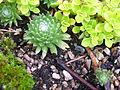 Flickr - brewbooks - Sedums in our Garden (1).jpg